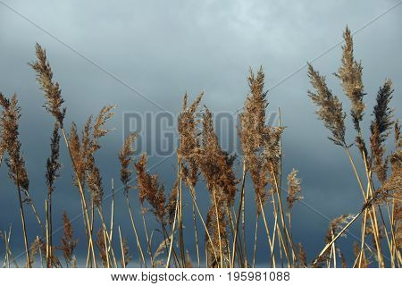 Common Reed With Stormy Sky
