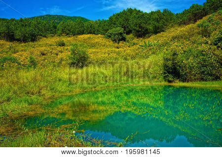 Yellow Wild Flower,  Pine Forest And Pond