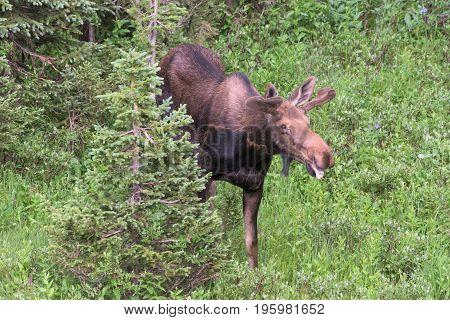 Wild Shiras Moose eating in the Rocky Mountains of Colorado