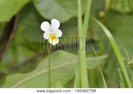 Field Pansy - Viola arvensis. Summer flower nature background - field of yellow and lilac summer pansies flowers. Summer landscape with blooming flowers. Closeup of summer flowers. Summer flowers background - beautiful summer pansies flowers