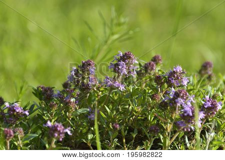Thymus serpyllum Breckland thyme wild thyme or creeping thyme
