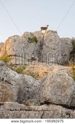 Wild goat on the rocks of La Sierra Del Torcal de Antequera National Park Malaga Spain