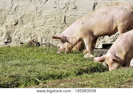 Pigs Walking On Grass And Muddy Field