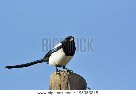 Eurasian Magpie (pica Pica) Perched On A Fence Post