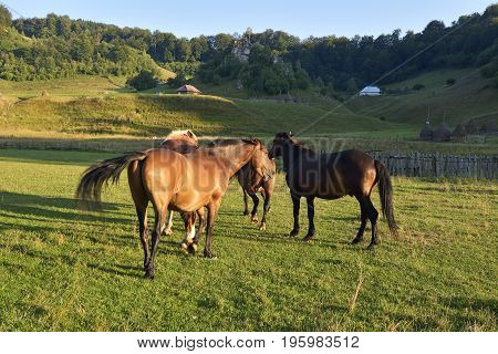 horses on a meadow. Three horses on a meadow with green grass in summer. Herd of horses on a meadow