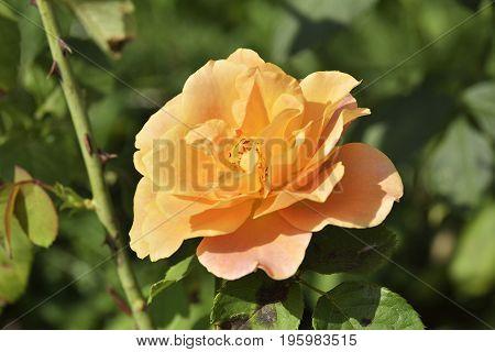 Close Up Beautiful Yellow Rose In A Garden