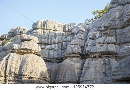 Wild goats on the rocks of La Sierra Del Torcal de Antequera National Park Malaga Spain
