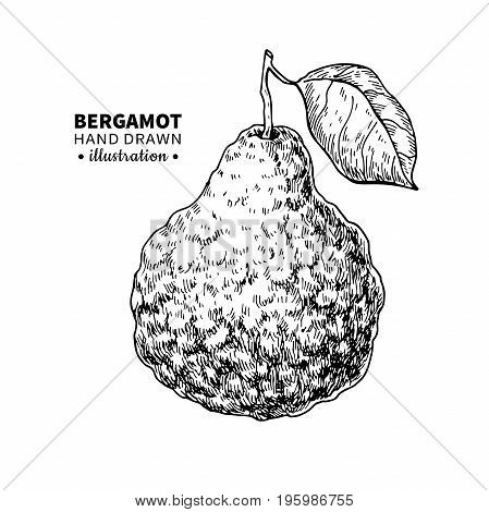 Bergamot vector drawing. Isolated vintage  illustration of citrus fruit with slices. Organic food. Essential oil engraved style sketch. Beauty and spa, cosmetic and tea ingredient. Great for label, poster, flyer, packaging design.