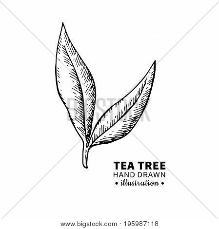 Tea tree vector drawing. Isolated vintage  illustration of medical plant leaves on branch. Organic essential oil engraved style sketch. Beauty and spa, cosmetic  ingredient. Great for label, poster, flyer, packaging design.