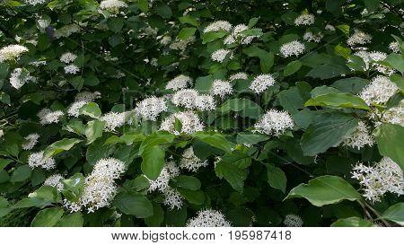 A huge bush spirea in all its glory. Blooming spirea beauty