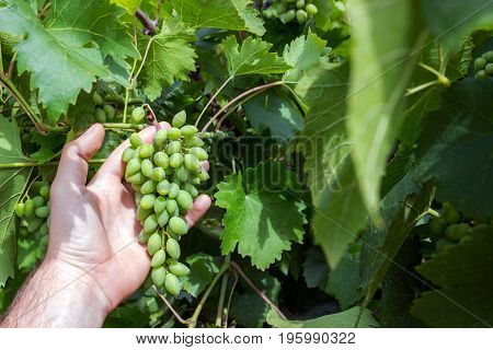 Vineyard worker checking grapes quality in vineyard. Winemaker checks the harvest of grapes.
