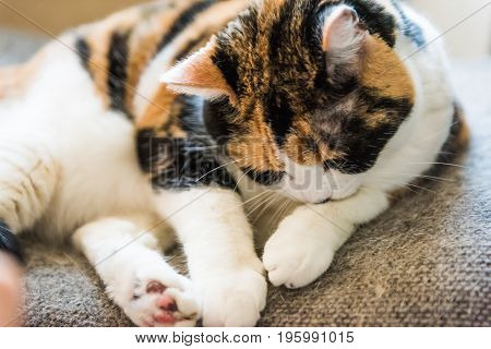 Closeup of calico cat licking paw on a chair