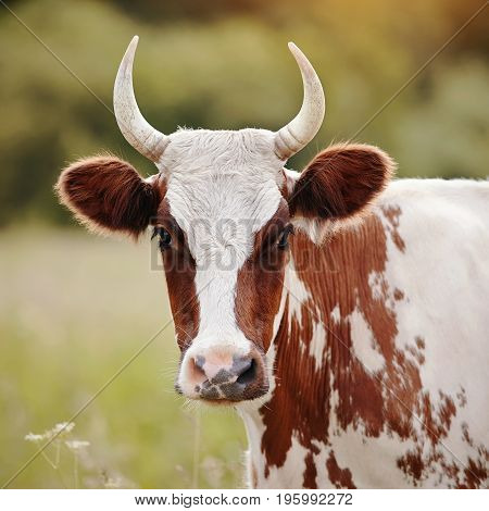 Portrait of a cow white with red spots on a pasture.