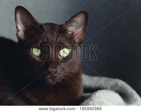 Portrait of beautiful domestic brown shorthair cat with green eyes.
