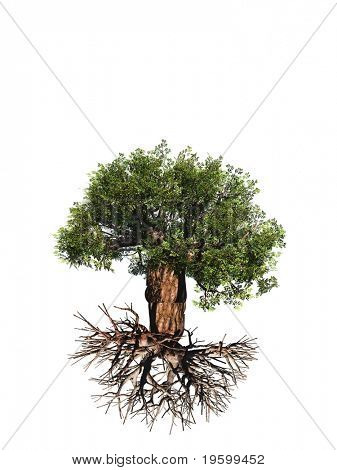 High resolution old baobab tree isolated on white with roots