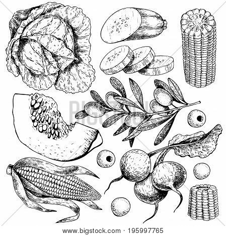 Vector hand drawn set of farm vegetables. Isolated cabbage, pumpkin, corn, olives, zucchini, radish. Engraved art. Organic sketched objects. restaurant, menu grocery market store party meal
