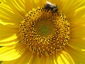 Bee Pollinating a Sunflower poster