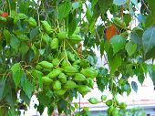 Clump of green seedpods on unknown tree in village in Andalusia Spain poster