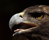 Extreme closeup of Golden Eagle head beak and tongue. poster