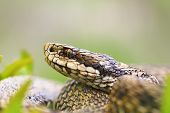 macro portrait of venomous viper the hungarian meadow adder one of the rarest european snakes ( Vipera ursinii rakosiensis ) poster