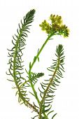 Prick-madam reflexed stonecrop or blue stonecrop (Sedum rupestre Sedum reflexum) isolated plant against white background poster