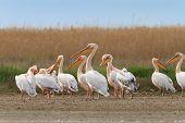 white pelicans in the Danube Delta Romania poster