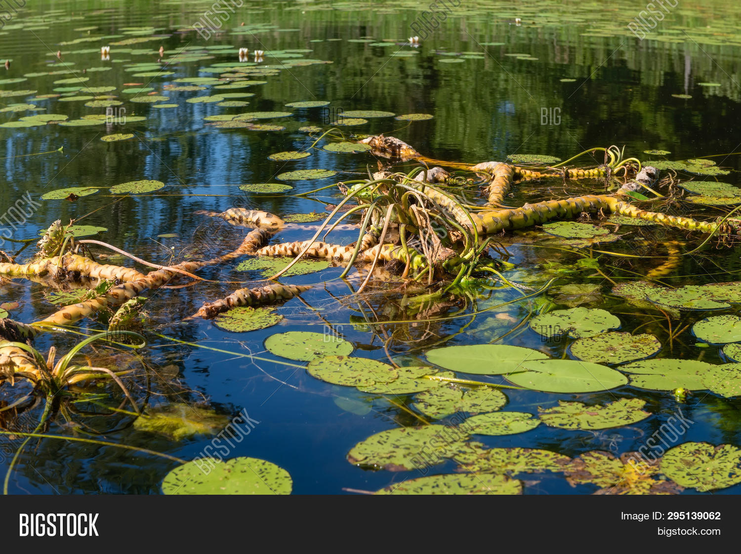 Water Lily Roots Image Photo Free Trial Bigstock