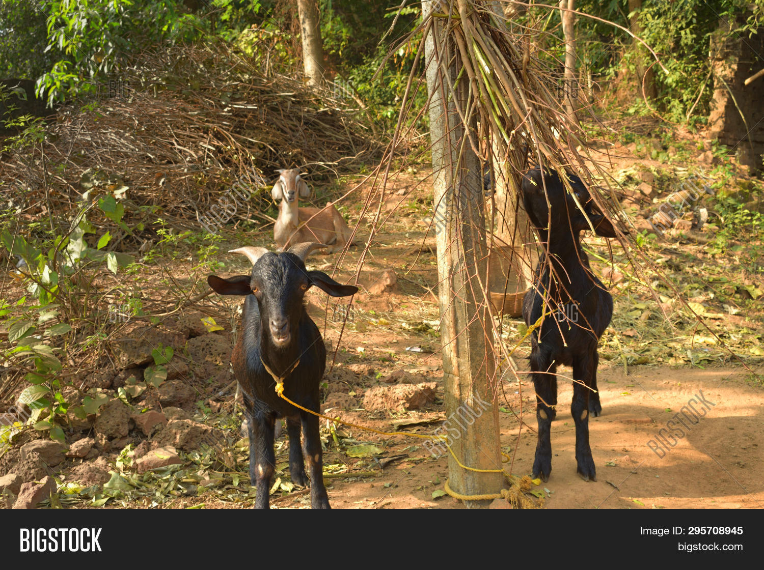 Indian Domestic Goats Image & Photo (Free Trial) | Bigstock