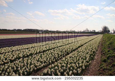 White Hyacinths In Rows On Flower Bulb Field In Noordwijkerhout In The Netherlands.