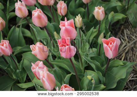 Pink Tulips In Rows On Flower Bulb Field In Noordwijkerhout In The Netherlands