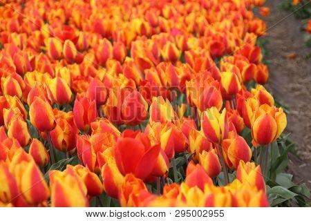Orange Tulips In Rows On Flower Bulb Field In Noordwijkerhout In The Netherlands