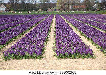 Purple Hyacinths In Rows On Flower Bulb Field In Noordwijkerhout In The Netherlands