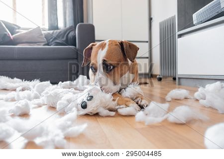 Guilty Dog And A Destroyed Teddy Bear At Home. Staffordshire Terrier Lies Among A Torn Fluffy Toy, F