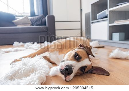 Dog Lies Among Torn Pieces Of A Pillow In A Living Room. Funny Staffordshire Terrier And Destroyed H