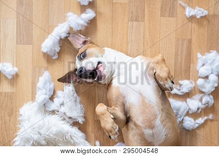 Playful Dog Among Torn Pieces Of A Pillow On The Floor, Top View. Funny Staffordshire Terrier Having