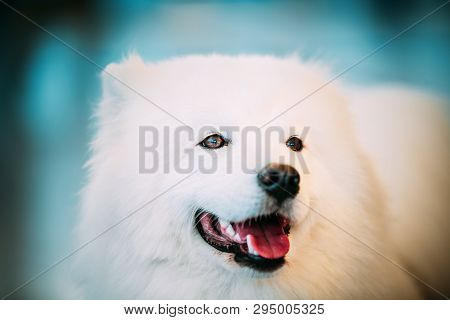 Happy White Samoyed Dog Puppy Whelp Close Up Portrait