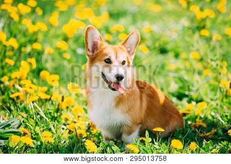 Funny Pembroke Welsh Corgi Dog Puppy Playing In Green Summer Meadow Grass With Yellow Blooming Dande