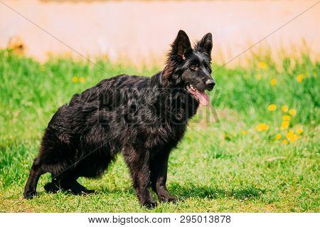 Beautiful Young Black German Shepherd Dog Standing In Green Grass. Alsatian Wolf Dog Or German Shepherd Dog. Deutscher Dog. poster