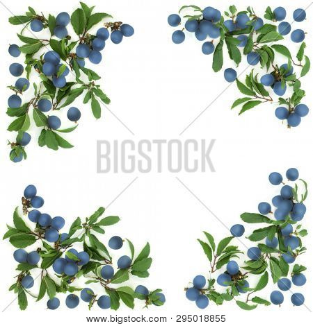 Blackthorn berry background border on white with copy space. Also known as sloe berry.