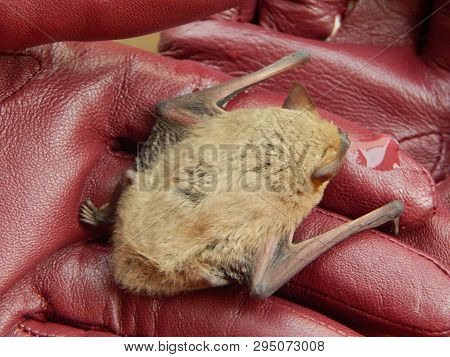 Watering The Cute Pipistrellus Kuhlii Bat After 4 Months Of Wintering In The Fridge On Female Hands