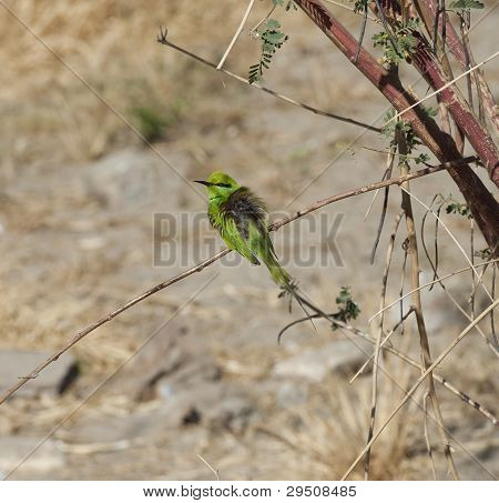 Wild Little Green Bee-eater bird perched on a branch in bush poster