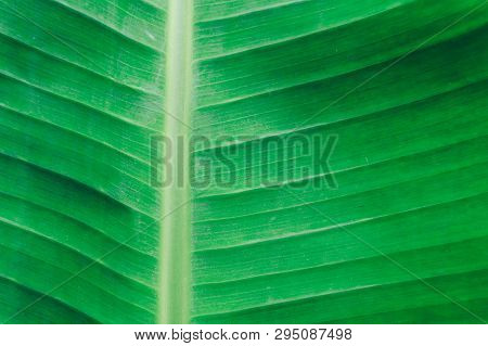Close Up Detailed View Of Green Banana Leaf Background With Abstract Vain Texture Lines Form Natural