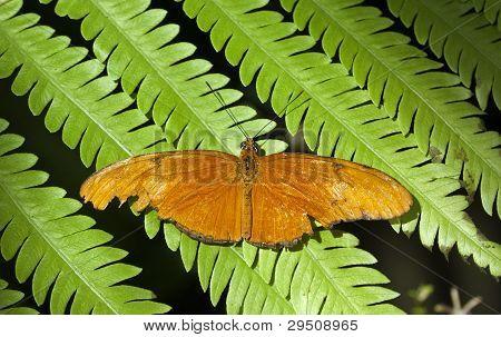 butterfly Julia Heliconian