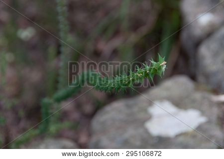 Green Intricate Spiky Plant Nature Floral Botanical Background.