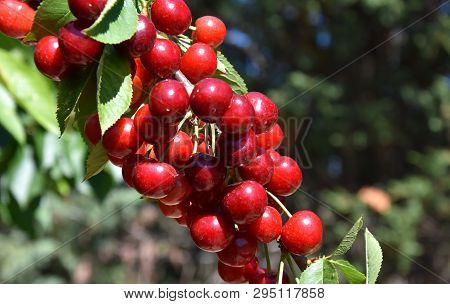 Red Cherries On Cherry Tree In Orchard For Picking. Close-up On Ripe Cherry Fruits On A Tree Branch,