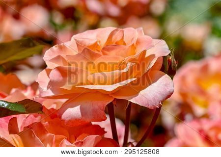 Beautiful Peach Colored Rose In A Garden
