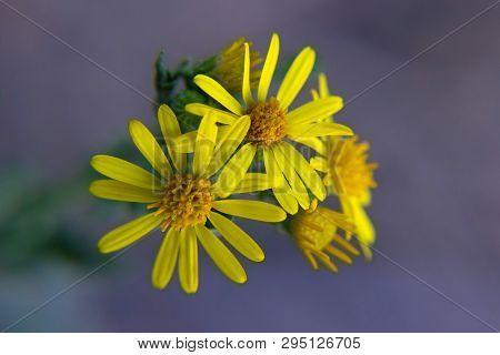 Macro Flowers Of Healing Wild Plant - Ragwort (jacobaea Vulgaris)
