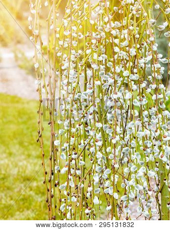 Pussy willow branches with catkins. Blooming spring flowers. Blossom Salix caprea Kilmarnock. Nature composition. poster