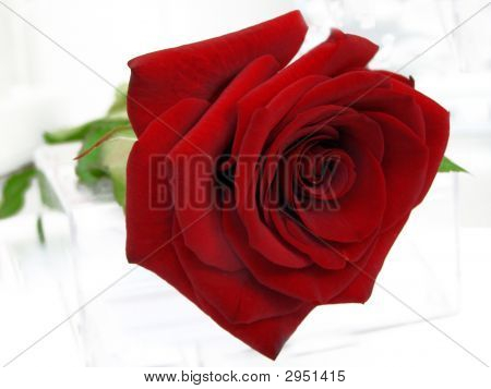 Red Rose Against The White Background