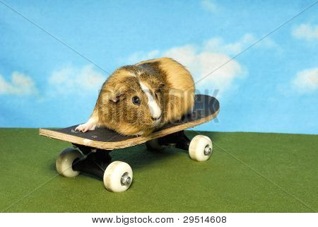 A Guinea Pig on a Skate Board